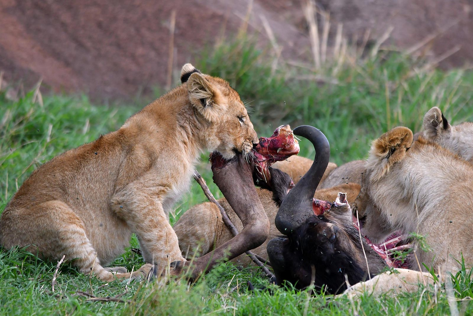 Day 3 — Lion tracking experience and game drive in Kasenyi