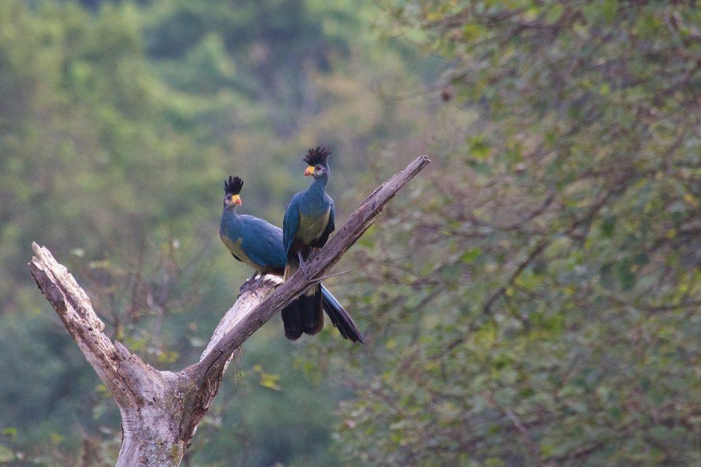 Avian life, bird watching and birding in Kibale Forest