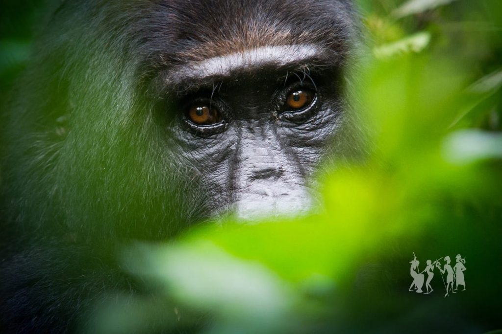 Mountain Gorilla trekking in Uganda, Uganda's Big 5 animals