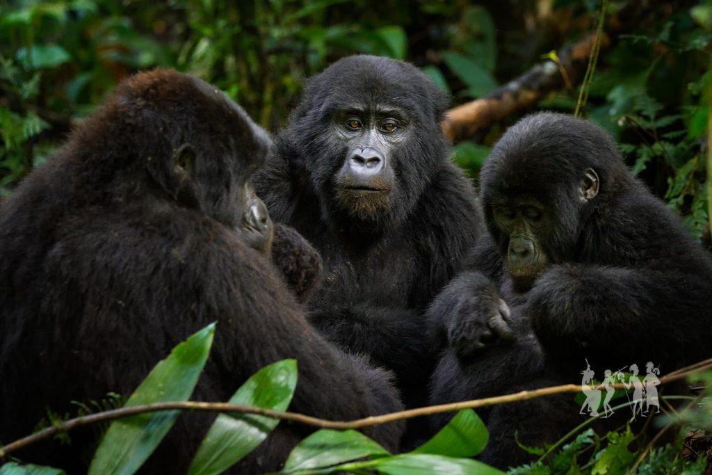 Social life of Moutain Gorillas in Bwindi