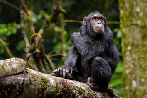 Common chimpanzee tracking in Kibale Forest