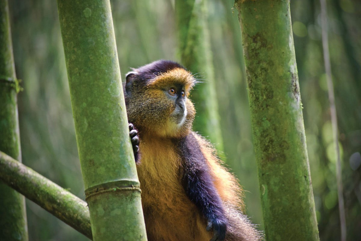 Day 9 — Golden Monkey tracking and drive to Kigali