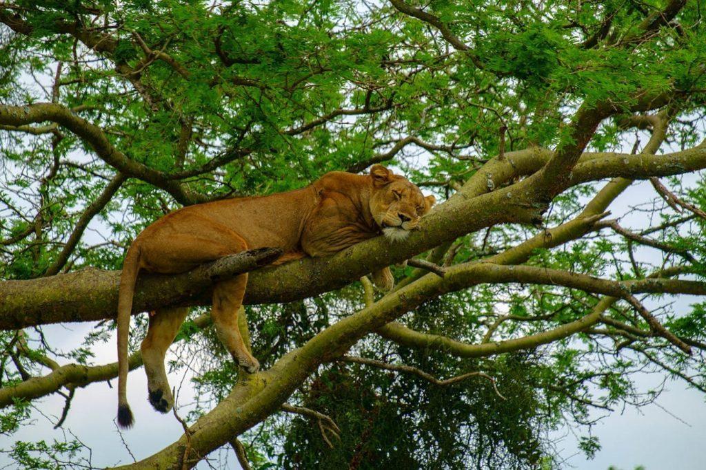ishasha tree climbing lions in queen elizabeth national park