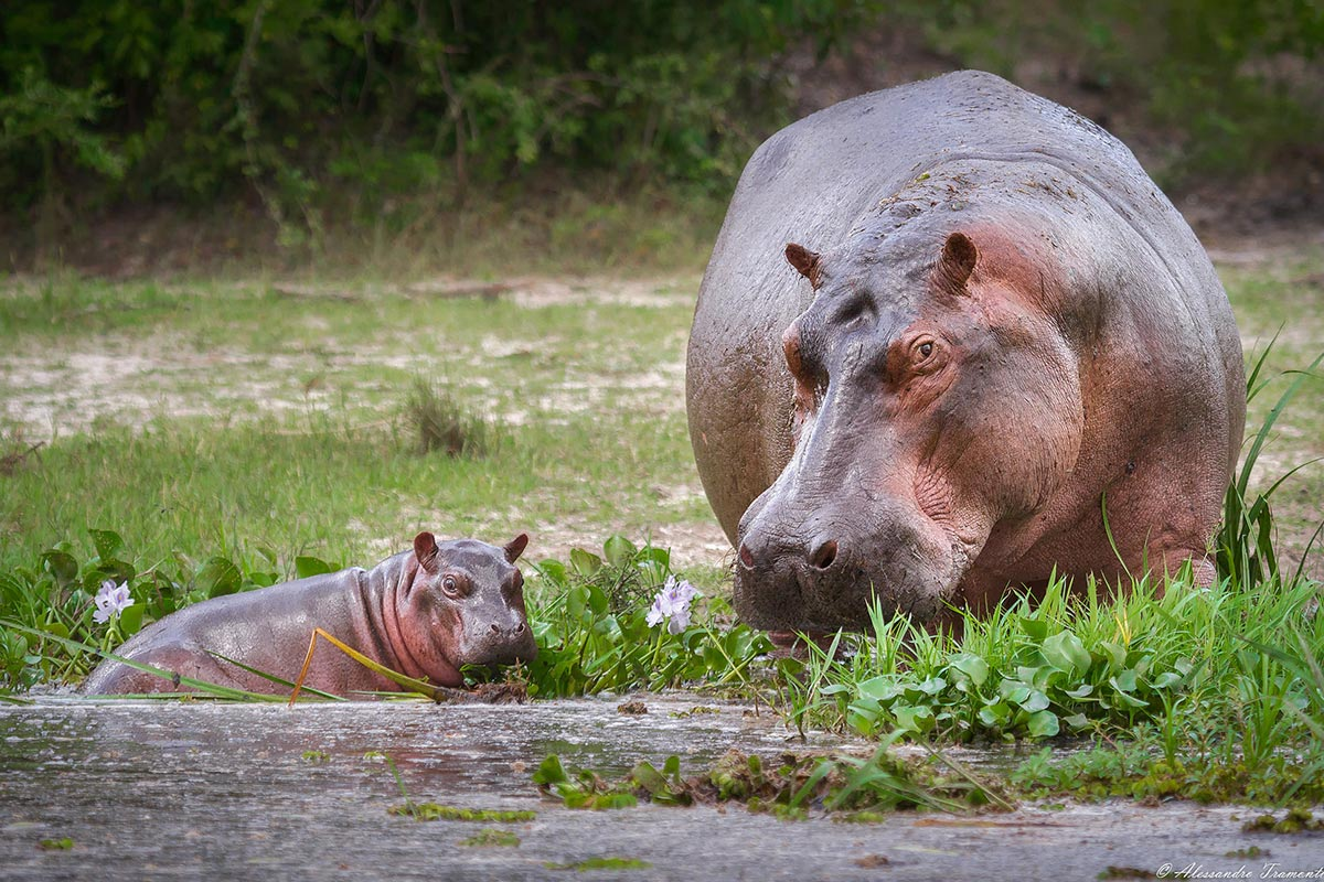 Murchison Hippos on Paara Boat launch