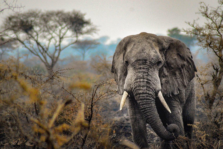 12 Day Explore Uganda's Hidden Gems, african elephants on Africa big five animals