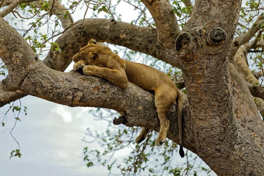 Lion Napping on a fig tree in Ishasha Sector. Uganda's lions climb trees.