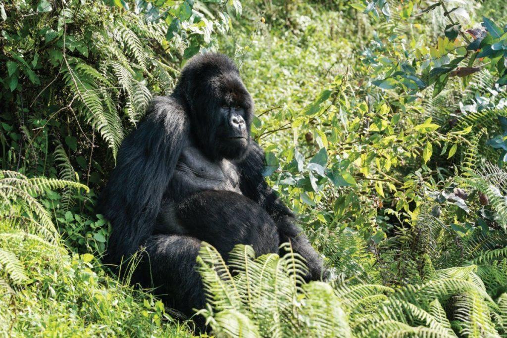 Mountain Gorilla Rwanda destination
