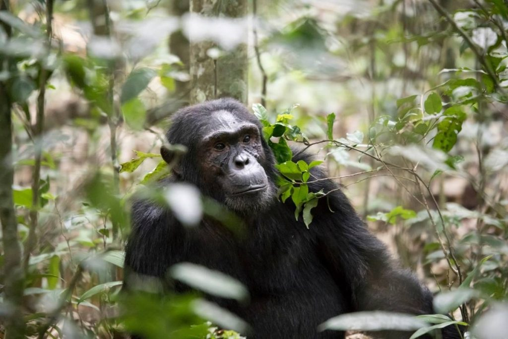 Kibale Forest National Park, Chimpanzee Tracking Excursions
