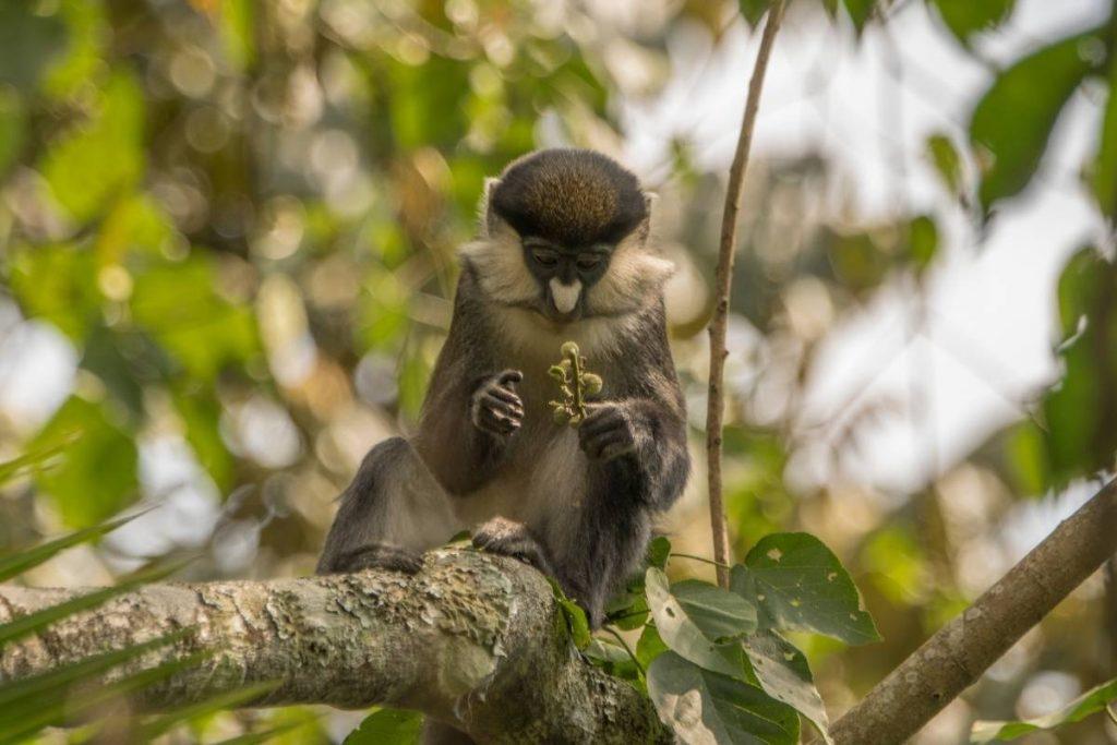 My Uganda Safari Experience; Bigodi Nature Walk around Kibale will reveal some impressive primate species