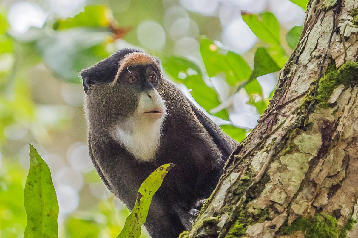 De Brazza's Monkey uganda