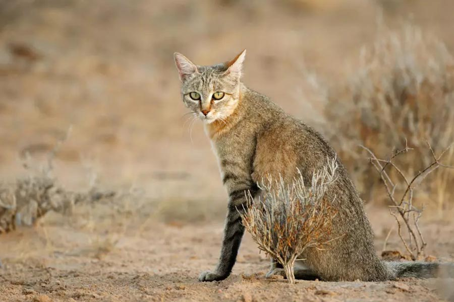 African wild cat (Felislybica)