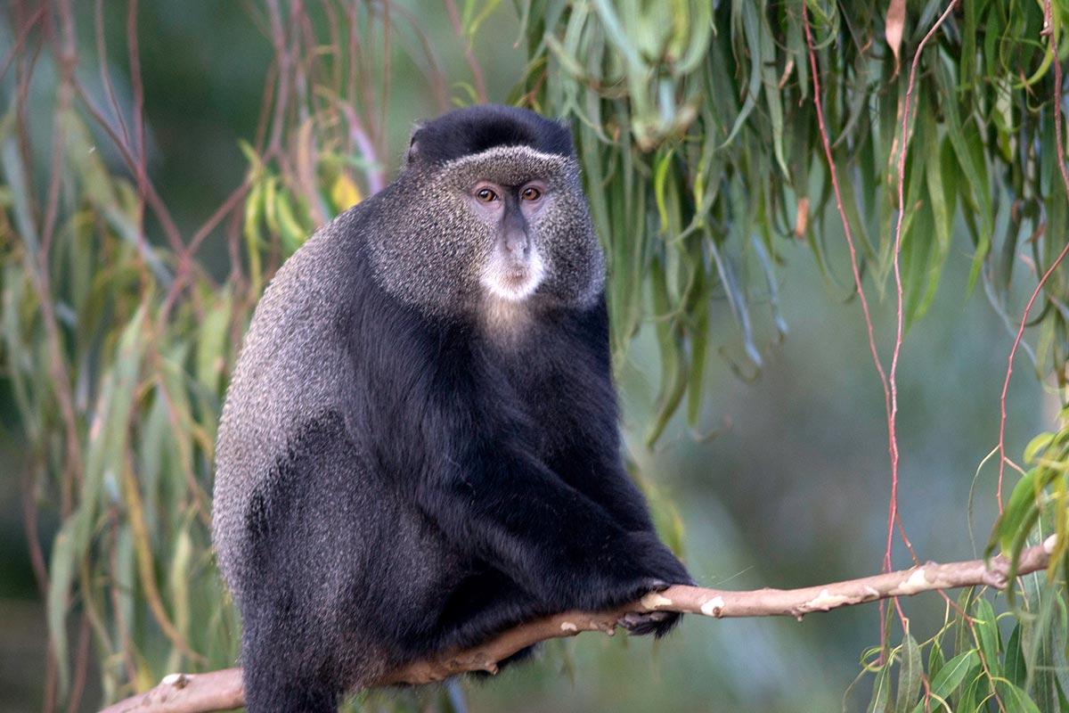 Uganda Blue monkey (Cercopithecus mitis)