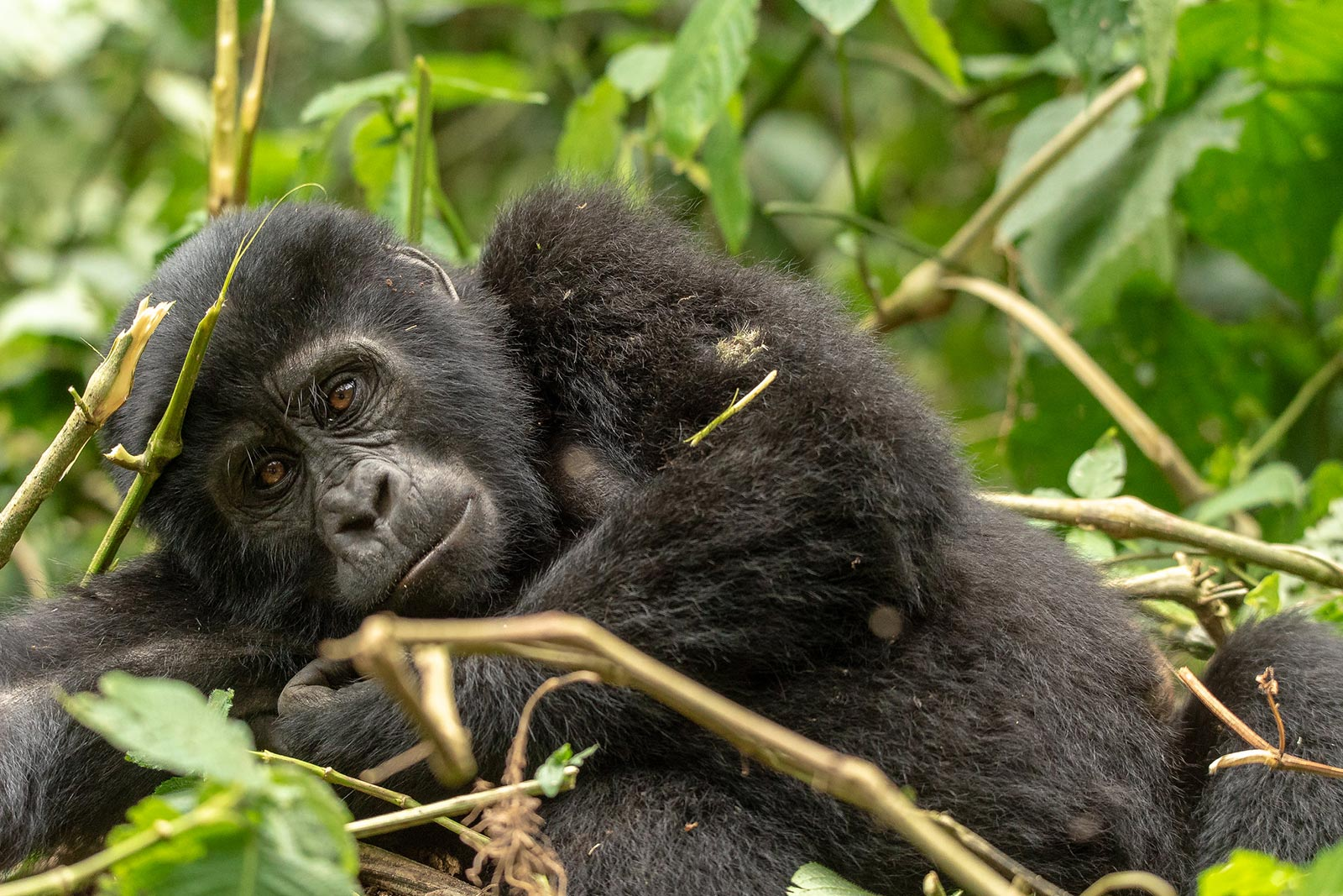 Day 8 — Big day, the awaited second gorilla tracking