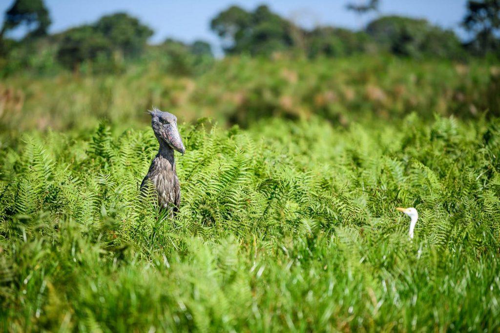 Mabamab Entebbe Birding