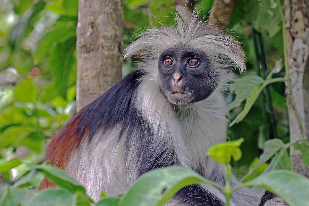 red colobus monkey uganda
