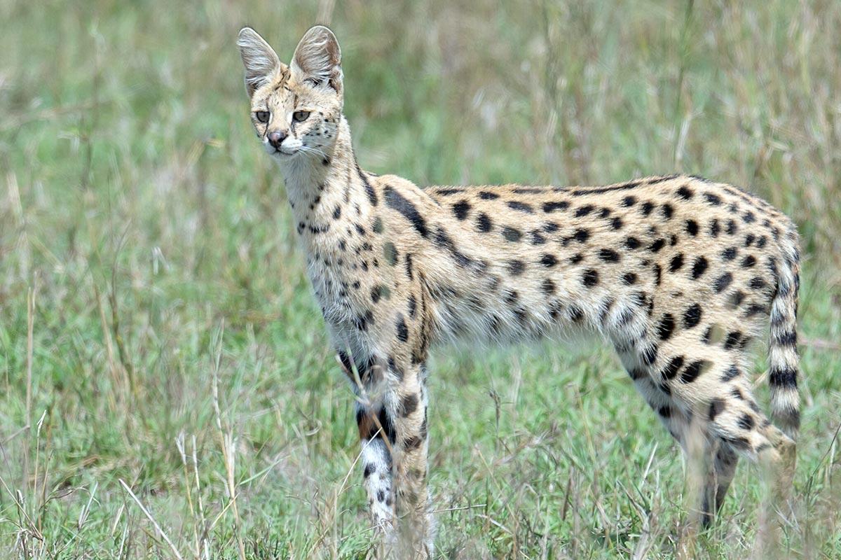 serval cat uganda