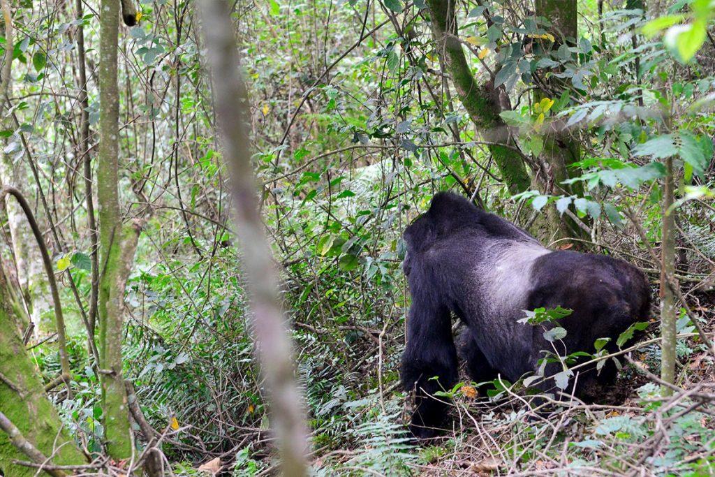 Silverback gorilla, male troop leader. gorilla trekking in Uganda