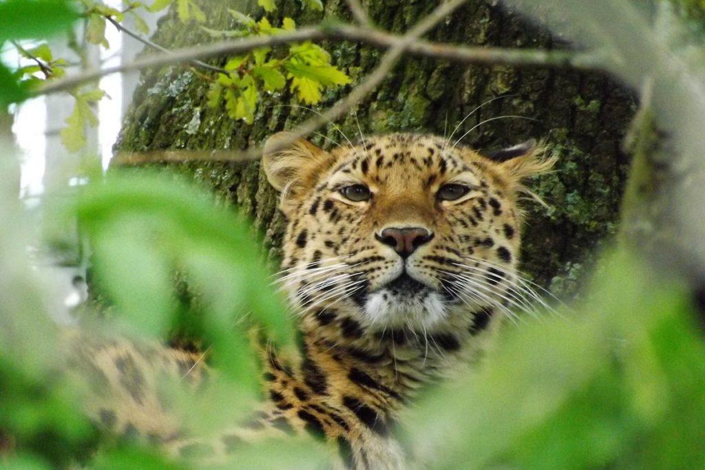 Leopard (Panthera pardus), Uganda's big 5 animals list.