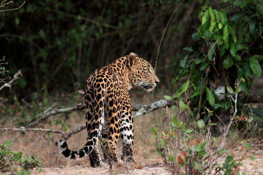 Leopard (Panthera pardus) on Uganda's big 5 animals list