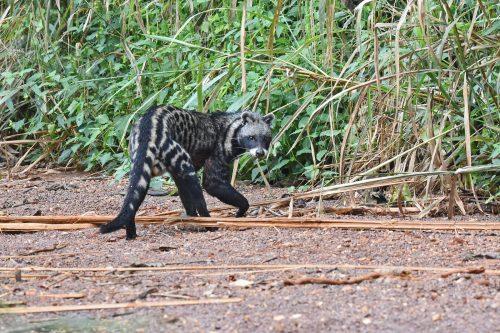 African Civet civettictis civetta Uganda
