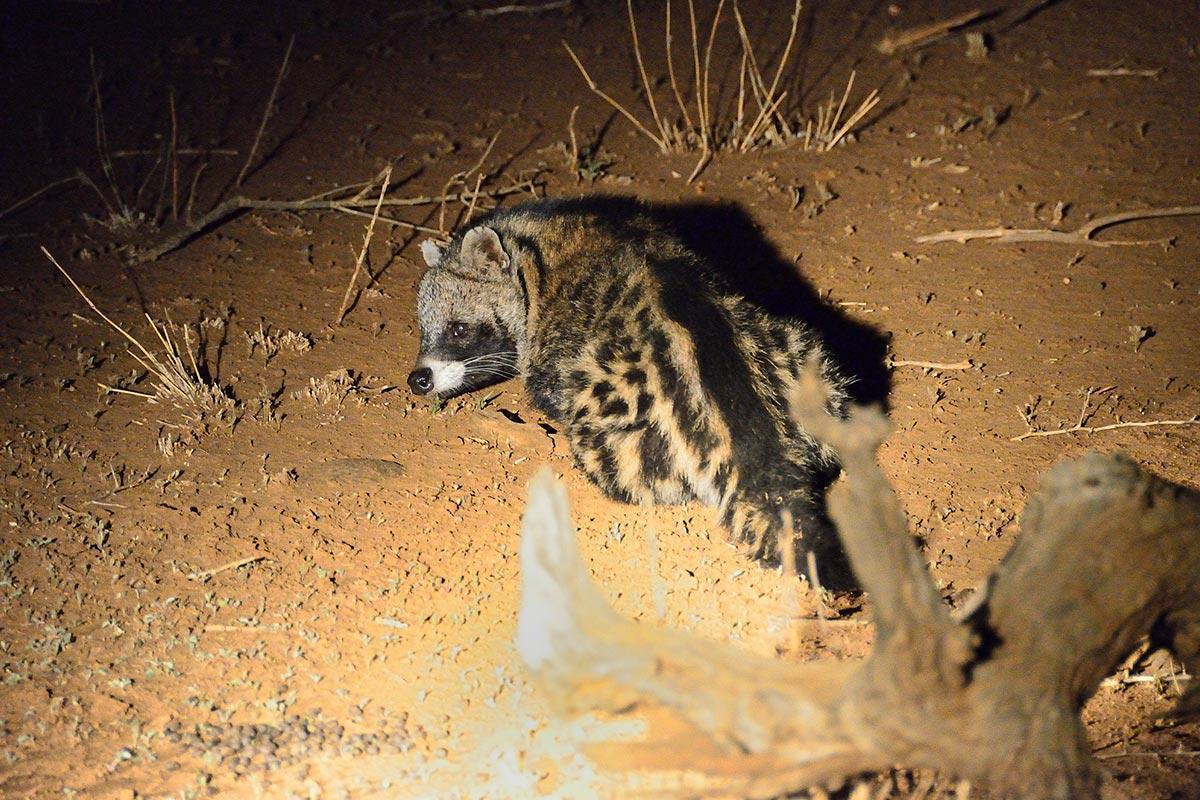 African Civet civettictis civetta