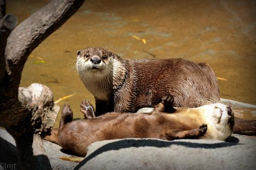 African Clawless Otter (Aonyx capensis)