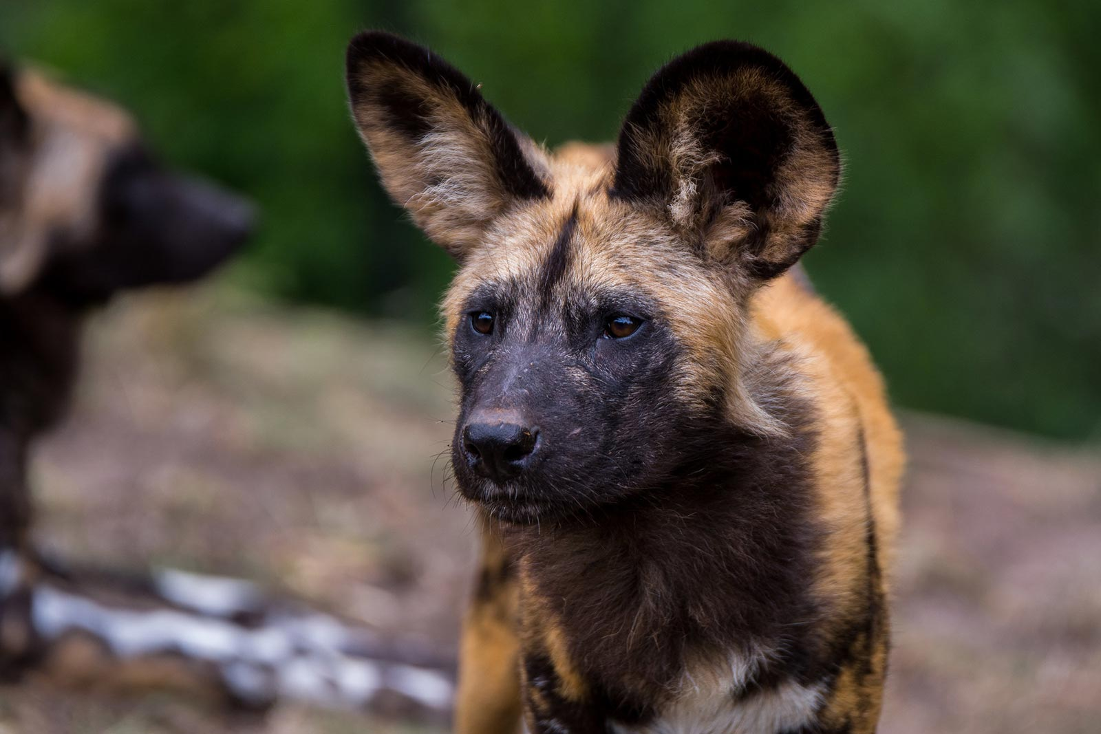 African hunting dogs (Lycaon pictus) in Uganda