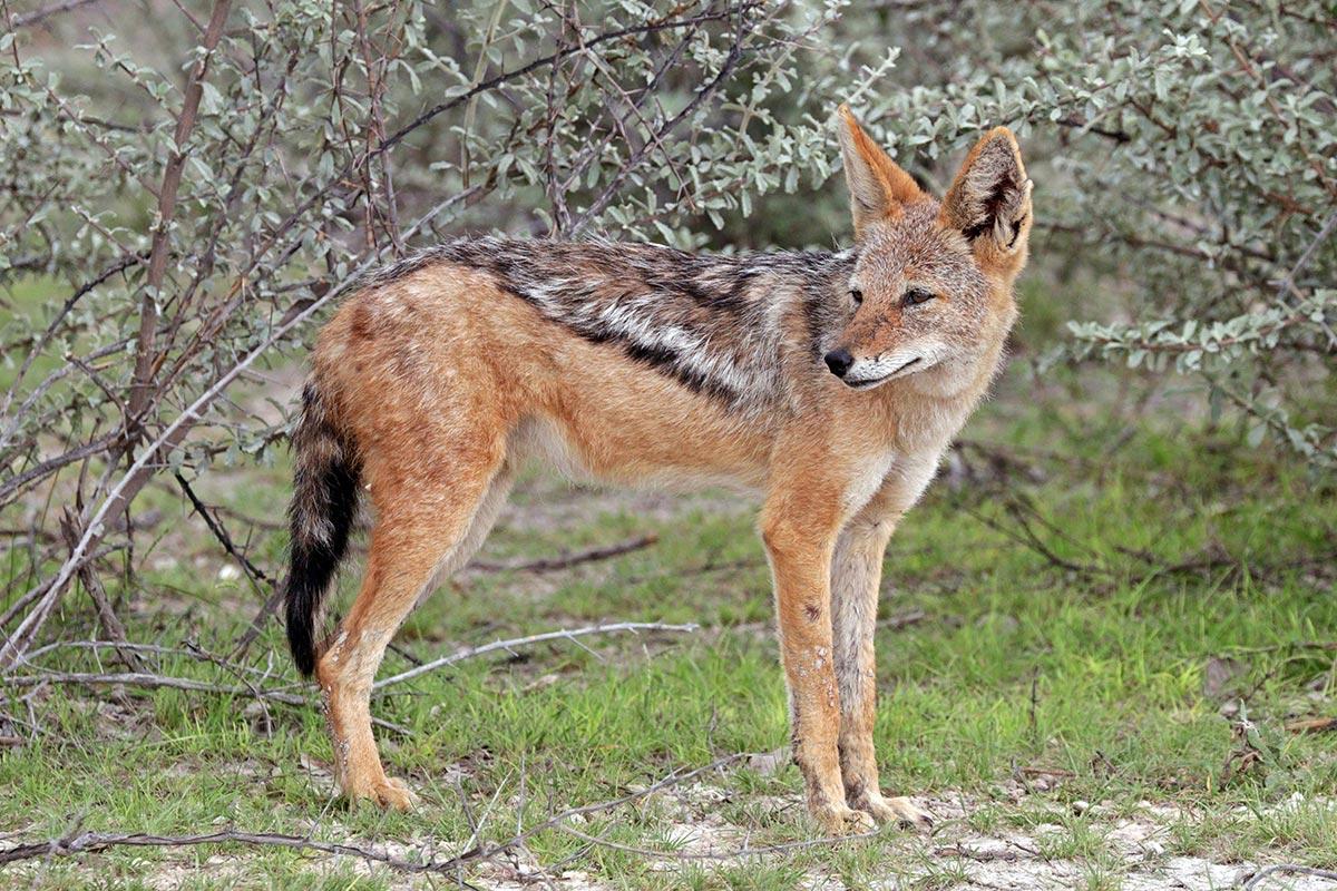 Black-backed jackal (Canis mesomelas mesomelas)