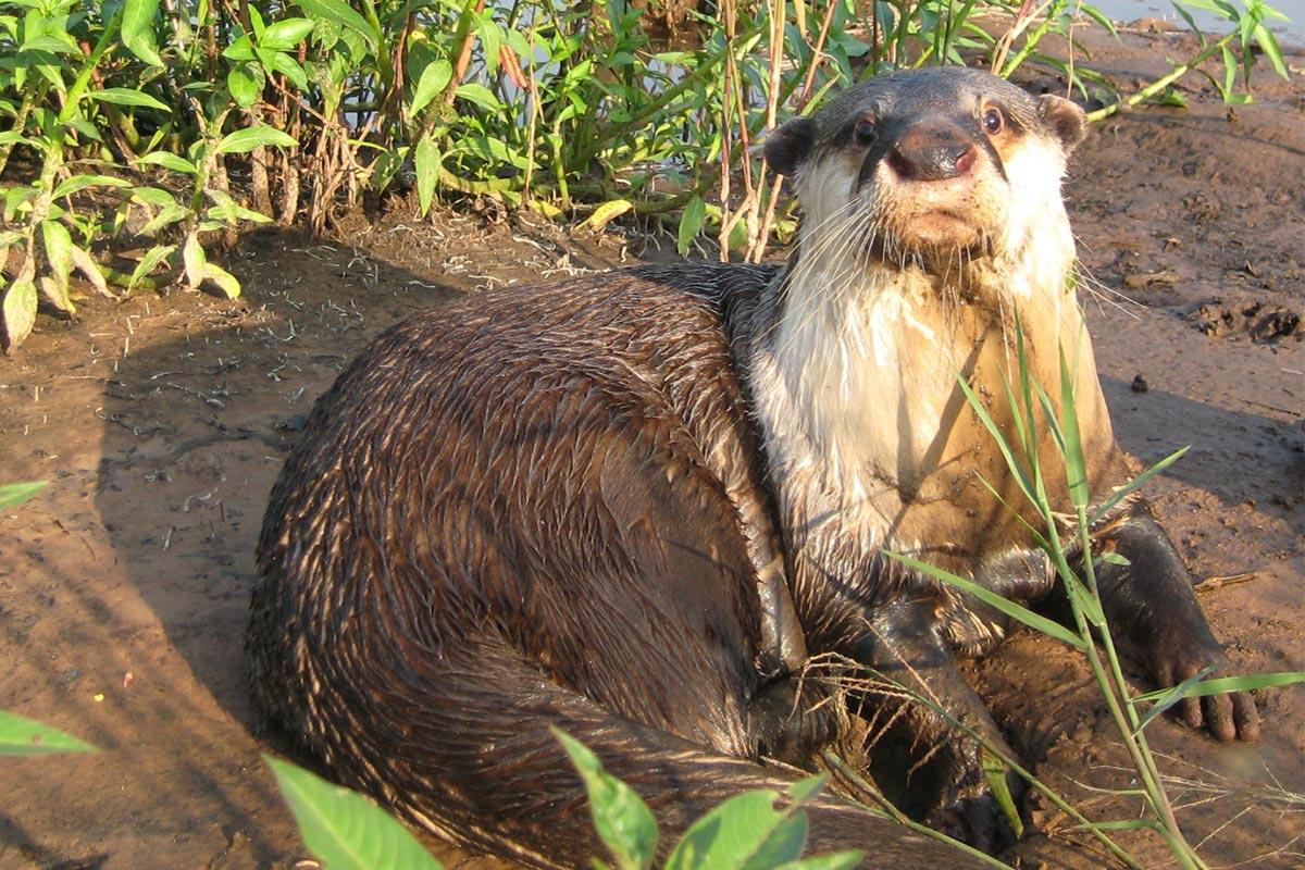 Congo Clawless Otter (Aonyx congicus)