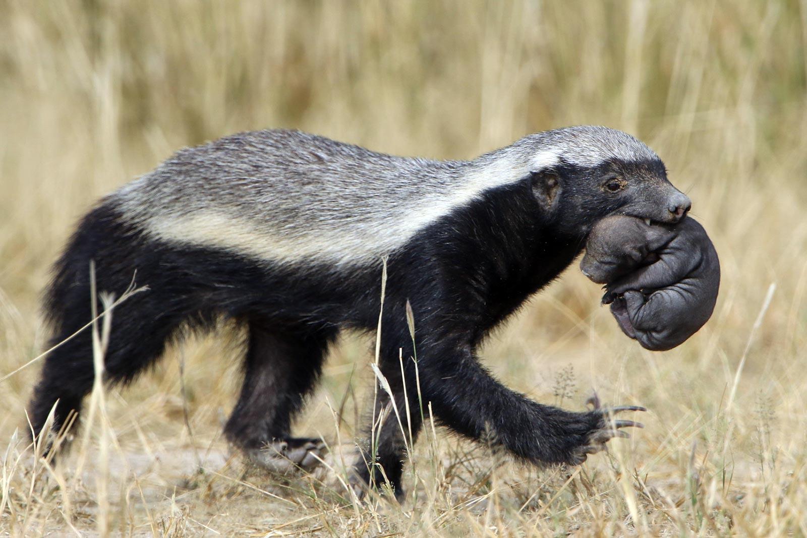 Mellivora capensis honey badger in Uganda