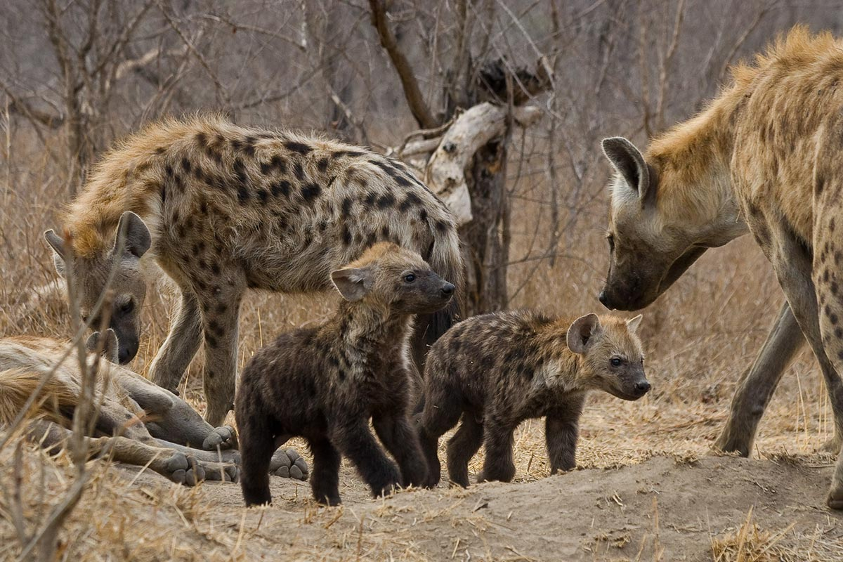 Spotted Hyena (Crocuta crocuta) with cubs