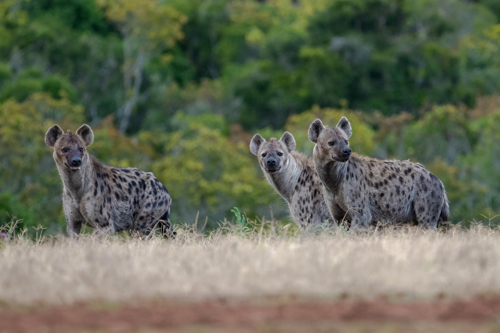 Spotted Hyena (Crocuta crocuta) in Uganda