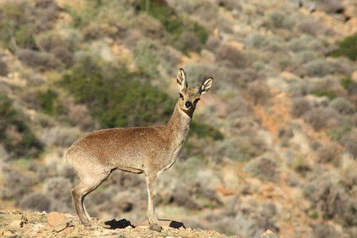 Klipspringer Oreotragus oreotragus uganda