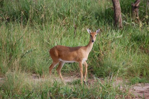Oribi Ourebia ourebi in uganda