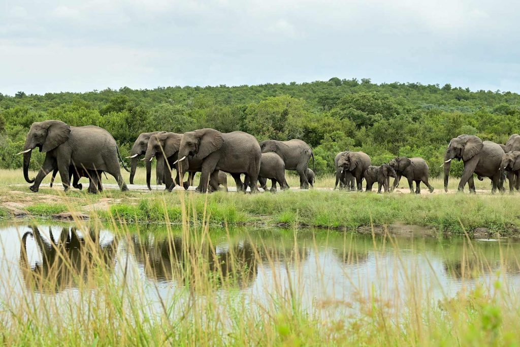 African elephant (Loxodonta africana) on Uganda's big 5 animals list