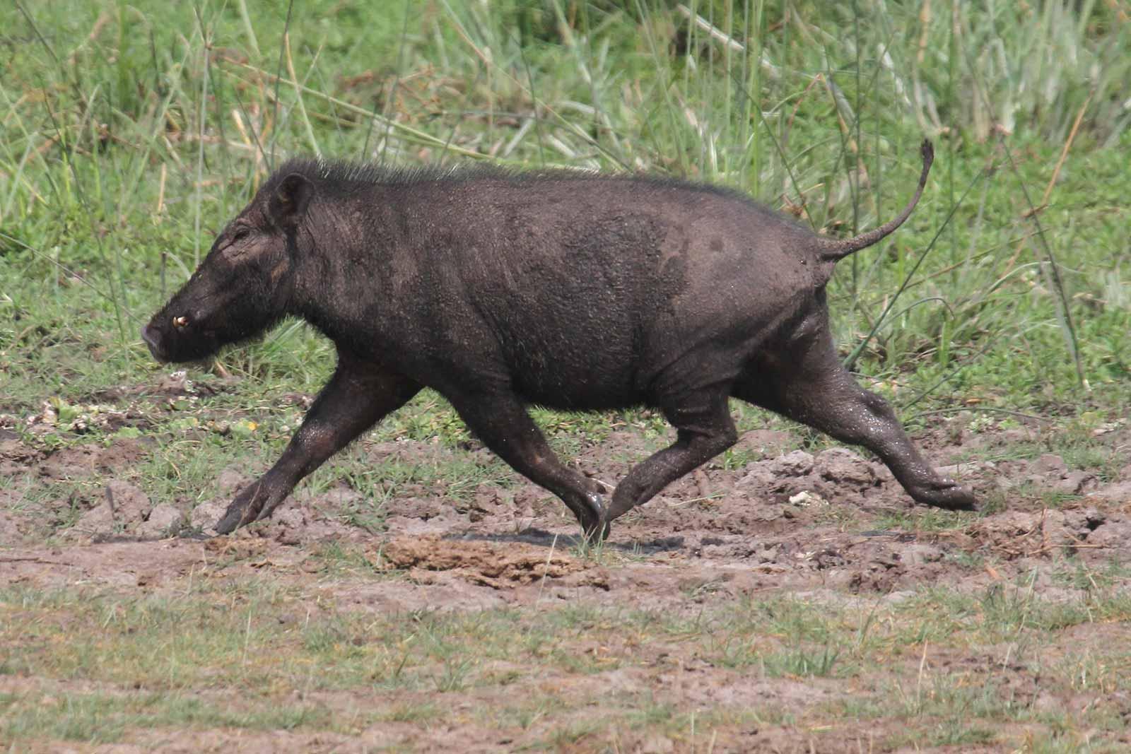 giant forest hog (Hylochoerus meinertzhageni)