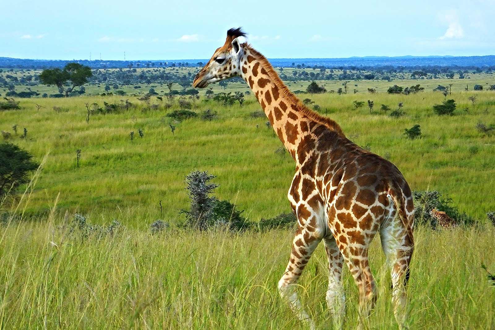 Rothschild Giraffe in Uganda - animal in bigger setting tell more of the story