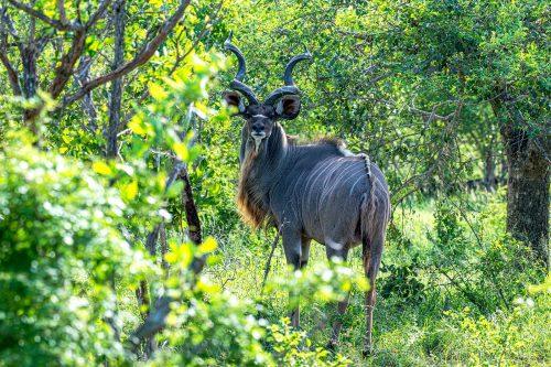 Greater Kudu (Tragelaphus strepsiceros) in Uganda