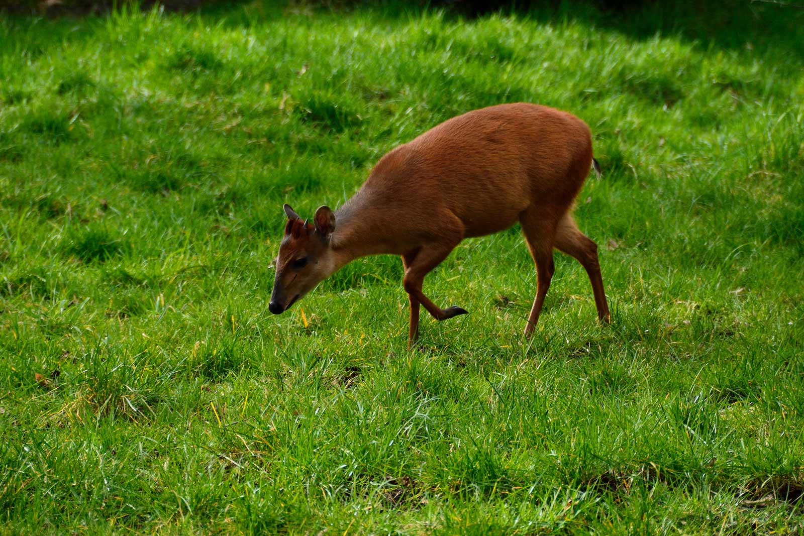 Harvey's Forest Red Duiker