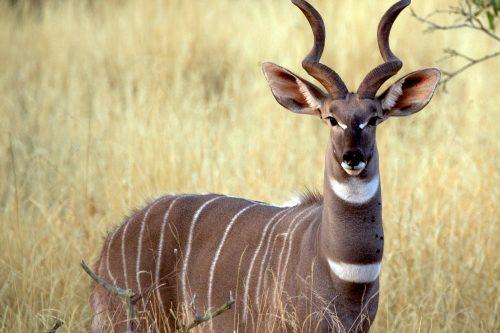 Male Lesser Kudu in Uganda