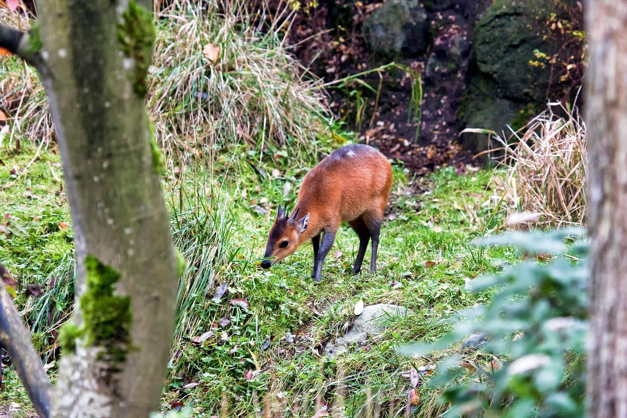 red-flanked forest duiker (C. rufilatus)