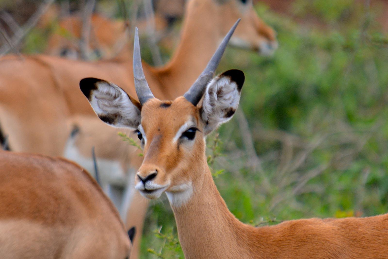 Impala pian upe uganda