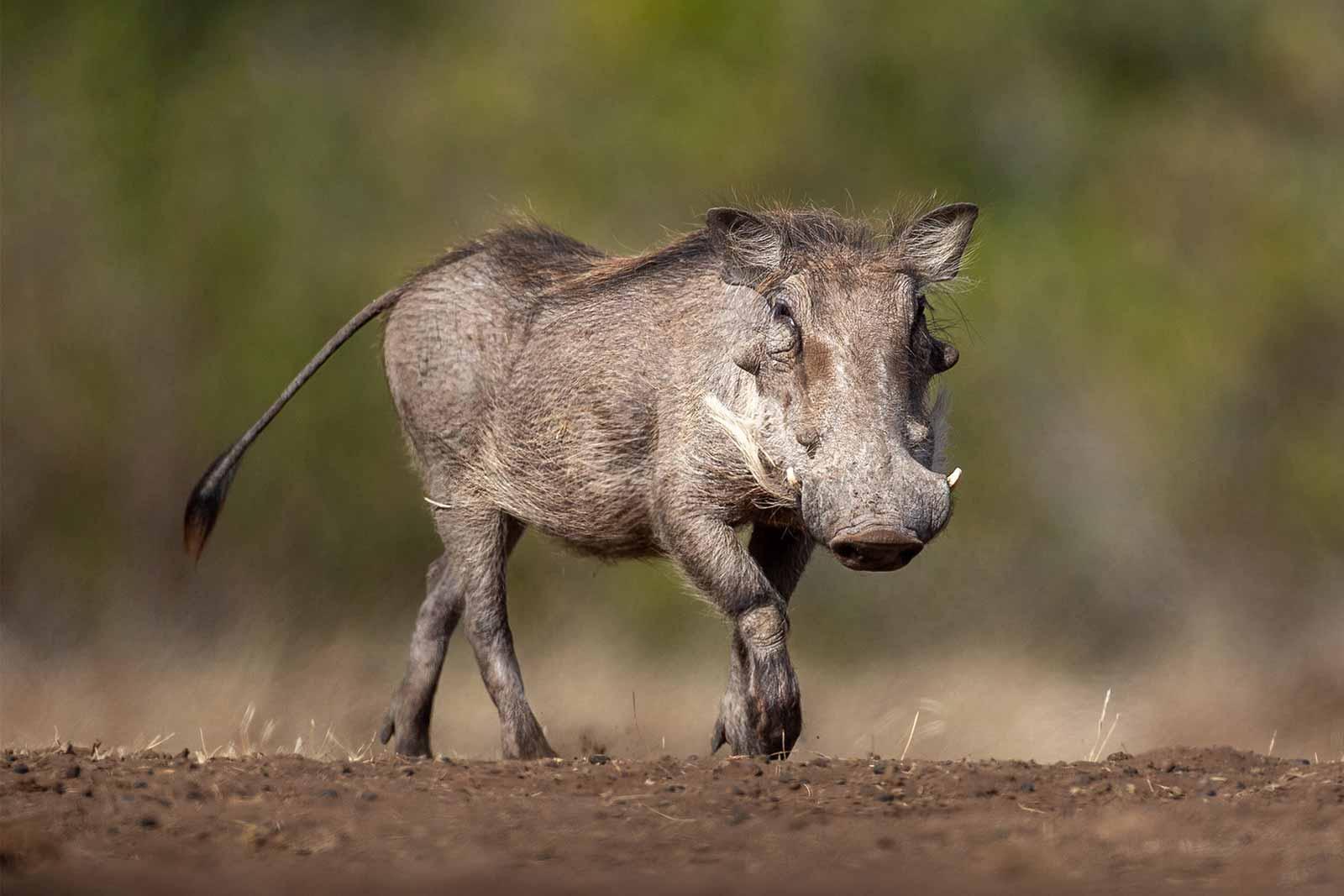 African pig or swing, the warthog (Phacochoerus africanus)