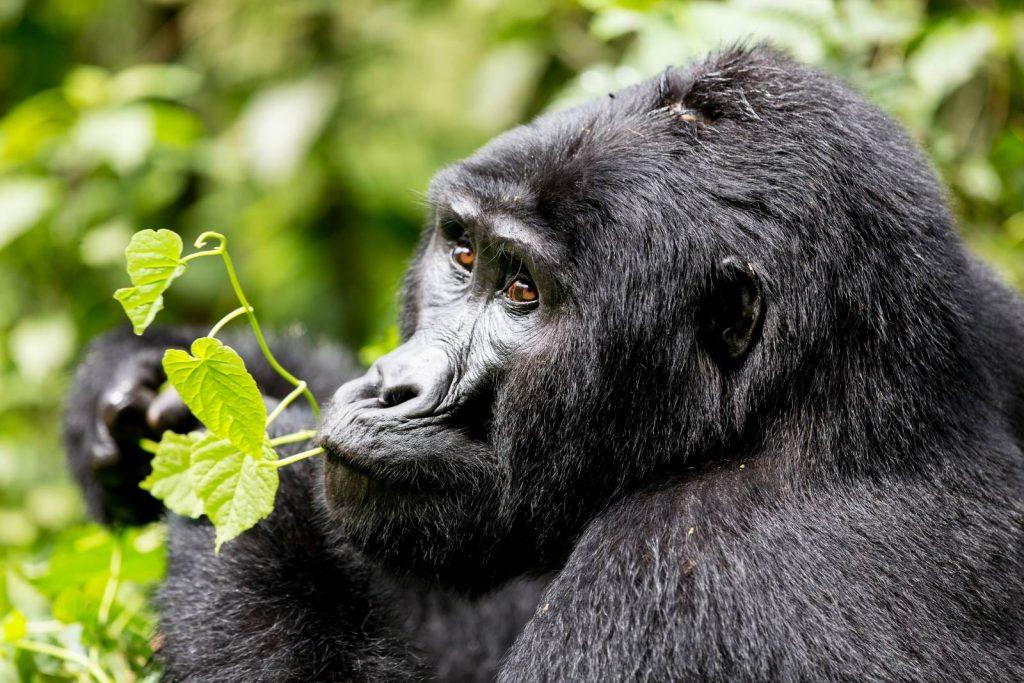 gorilla trekking and primate viewing is a unique activity on Uganda safari