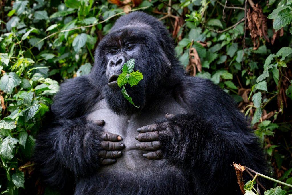 Mountain Gorilla found in Uganda's Bwindi Impenetrable National Park