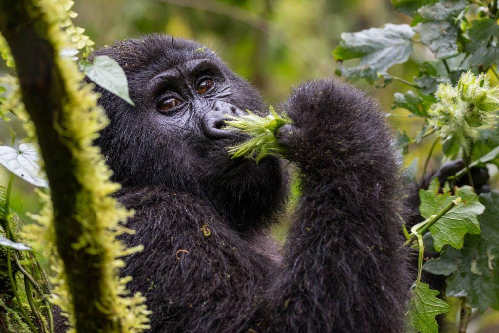 Gorilla Trekking in Bwindi Impenetrable National Park: Planning Your First Uganda Safari