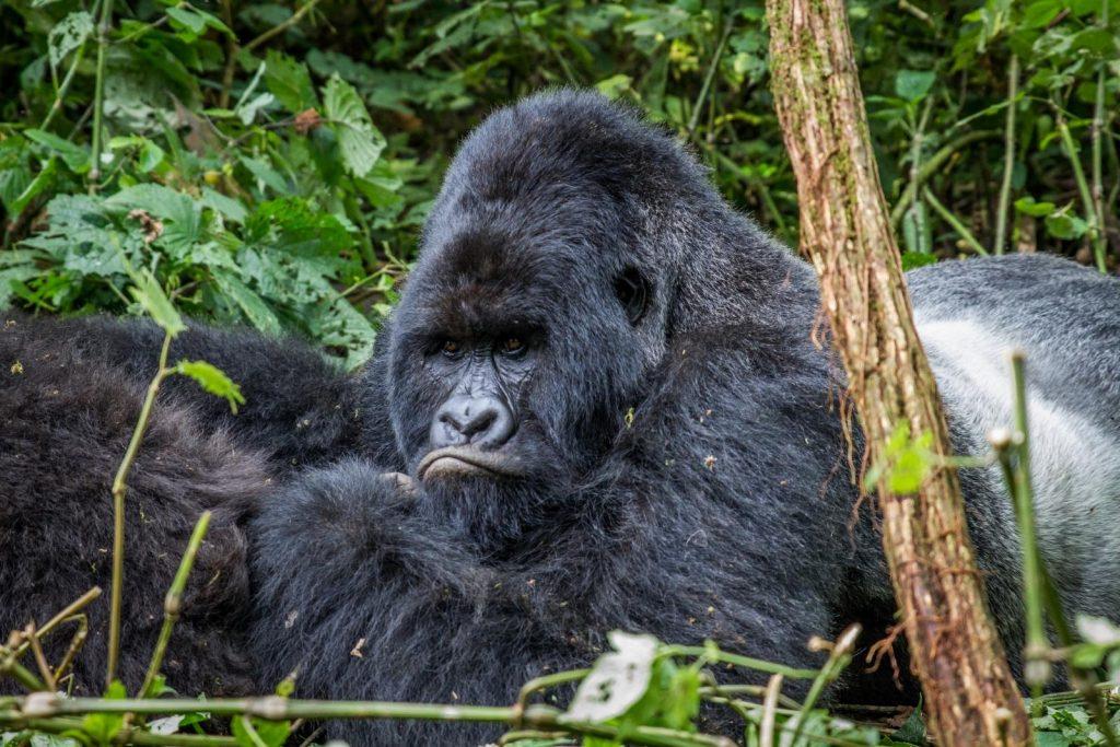 Mountain Gorilla Silverback, no one on Uganda's BIG 5 animals list