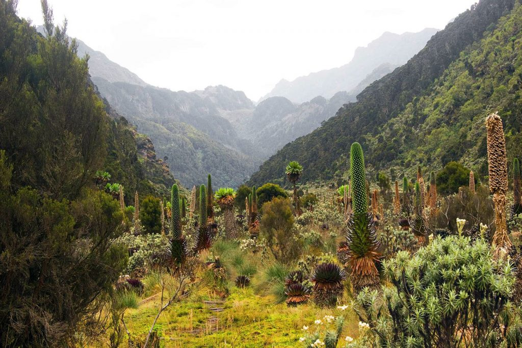 Rwenzori Mountains Vegetation