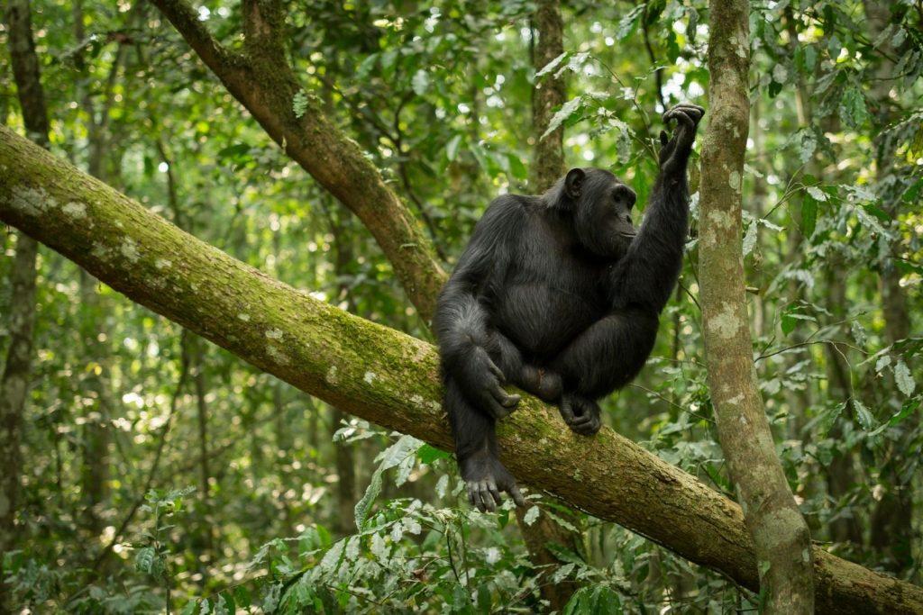 What other primate safari can match seeing gorillas in Uganda