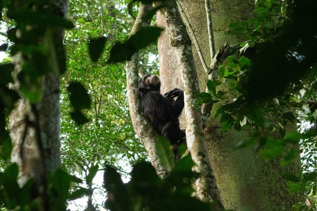Observing a male chimp take a break after a long foraging walk on the forest floor. The alternative primate safari in Uganda without gorillas